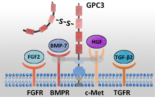 GPC3 proteins from ACROBiosystems
