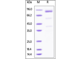 GPC3-proteins-sdspage
