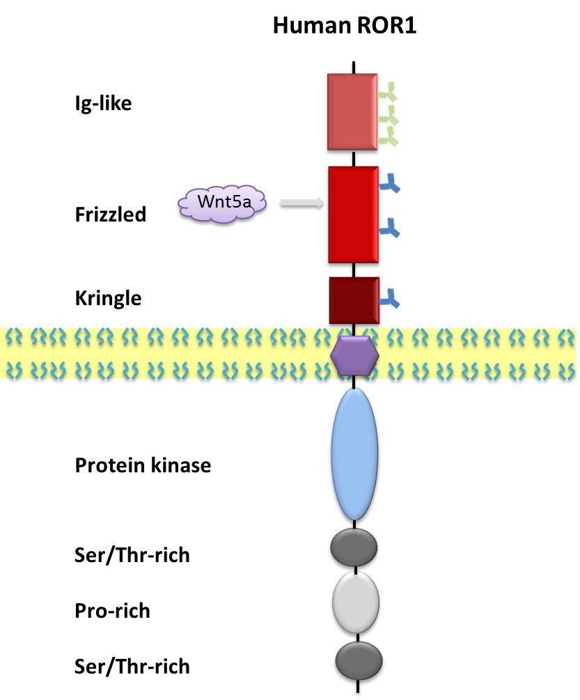 ROR1 proteins