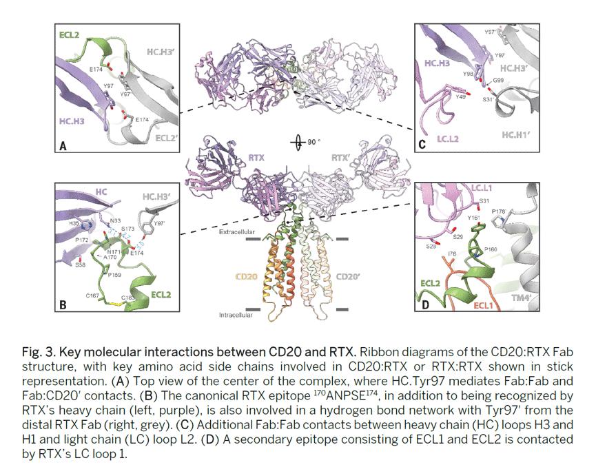 CD20とRTXの分子間相互作用