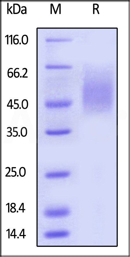 Biotinylated Human 2B4(recommended for biopanning) (Cat. No. 2B4-H82E9) SDS-PAGE gel