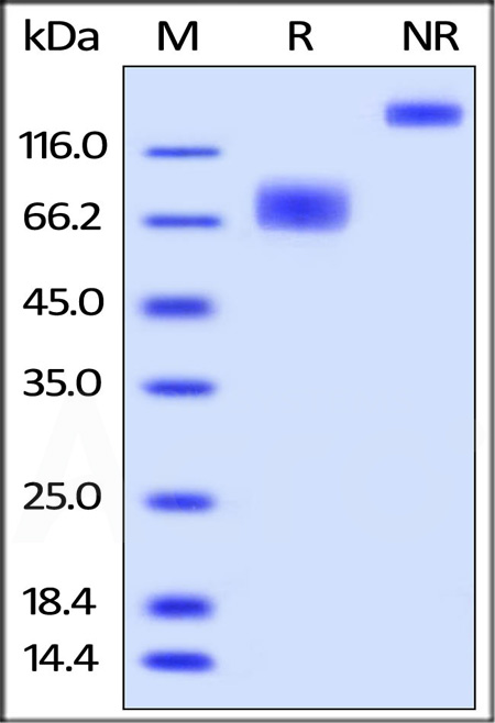 Biotinylated Human 2B4, Fc Tag, Avi Tag (Cat. No. 2B4-H82F0) SDS-PAGE gel