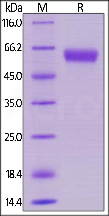 Human 4-1BB, Mouse IgG2a Fc Tag, low endotoxin (Cat. No. 41B-H5256) SDS-PAGE gel