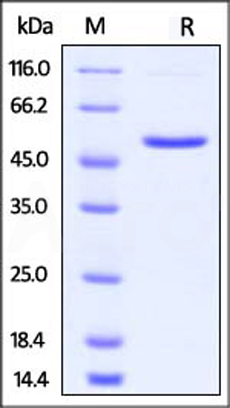 Human 4-1BB Ligand, Fc Tag (Cat. No. 41L-H5257) SDS-PAGE gel