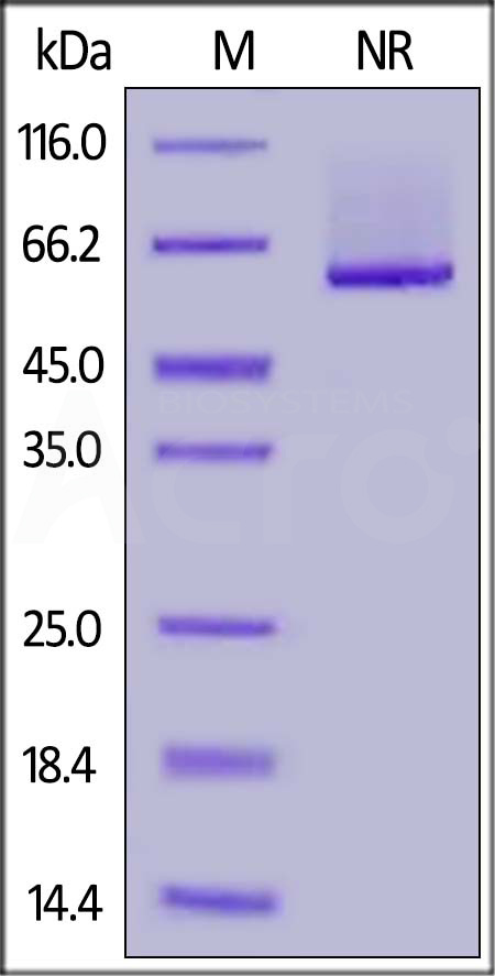 Human 4-1BB Ligand (71-254), His,Flag Tag (active trimer) (MALS verified) (Cat. No. 41L-H52D4) SDS-PAGE gel