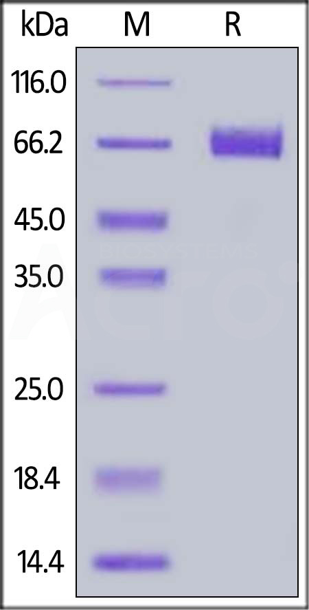Mouse 4‑1BB Ligand, Fc Tag (Cat. No. 41L-M5257) SDS-PAGE gel