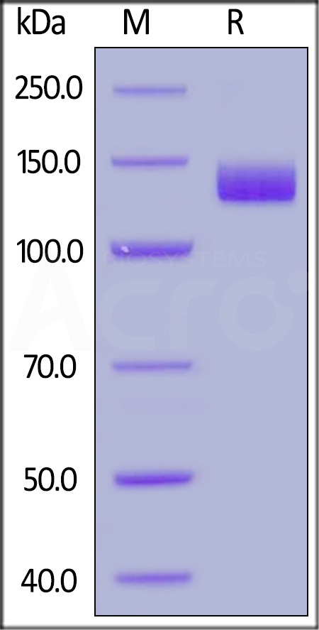 Biotinylated Human ACE2, Fc,Avitag (Cat. No. AC2-H82F9) SDS-PAGE gel