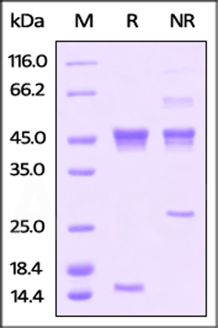 Human Activin A, His Tag (Cat. No. ACA-H424x) SDS-PAGE gel