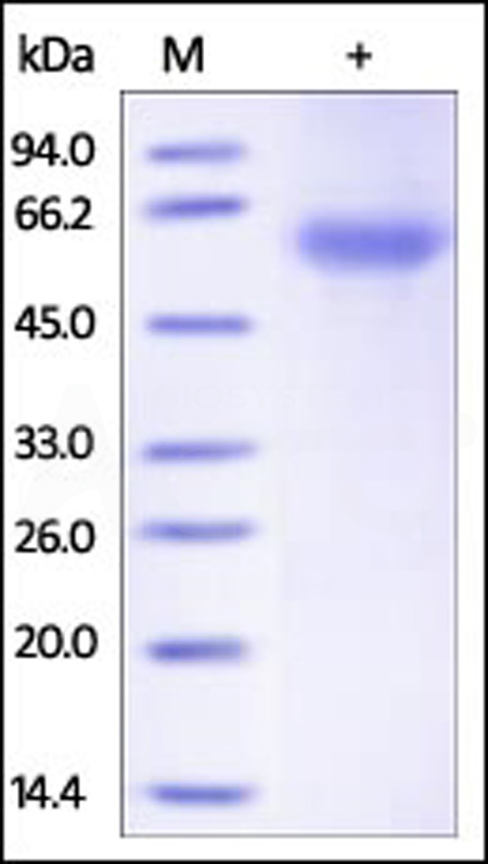 Human ADIPOQ, Fc Tag (Cat. No. ADQ-H5250) SDS-PAGE gel