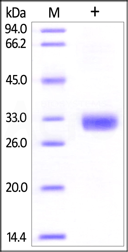 Human Angiopoietin-2 (275-496), His Tag (Cat. No. AN2-H5242) SDS-PAGE gel