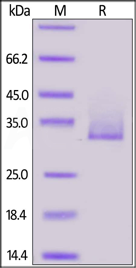 Biotinylated Human Angiopoietin-like 3, His,Avitag (Cat. No. AN3-H82E7) SDS-PAGE gel