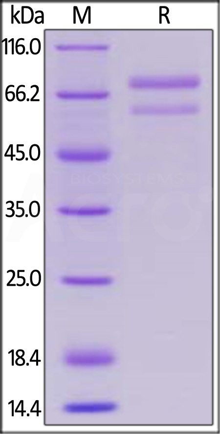 Human ANGPTL7, Mouse IgG2a Fc Tag (Cat. No. AN7-H5252) SDS-PAGE gel