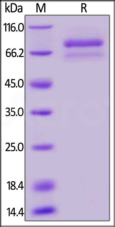 Biotinylated Human ANGPTL7, Mouse IgG2a Fc,Avitag (Cat. No. AN7-H82F3) SDS-PAGE gel