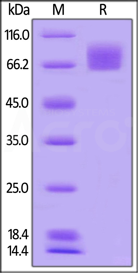 Human B7-1, mouse IgG2a Fc Tag, low endotoxin (Cat. No. B71-H52A4) SDS-PAGE gel