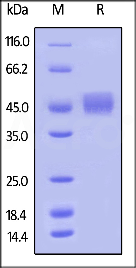 Biotinylated Human B7-1(recommended for biopanning) (Cat. No. B71-H82E9) SDS-PAGE gel