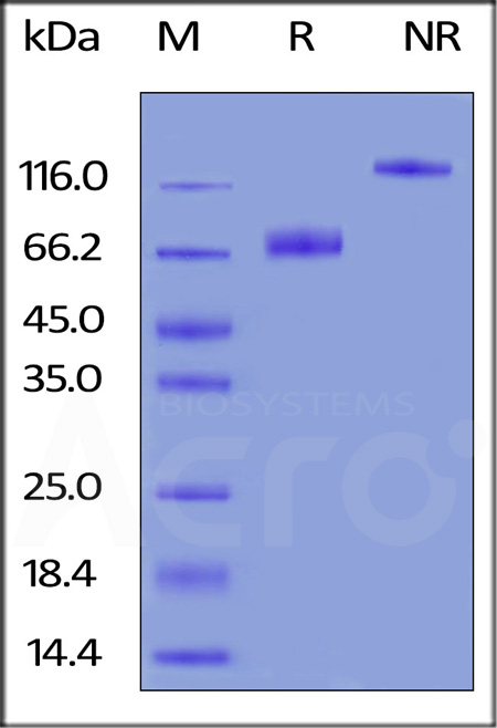 Biotinylated Human B7-1, Fc Tag (Cat. No. B71-H82F2) SDS-PAGE gel