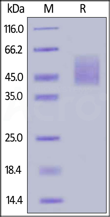 Cynomolgus B7-H2, His Tag (Cat. No. B72-C52Hb) SDS-PAGE gel