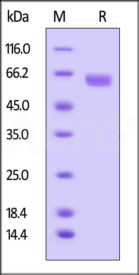 Human B7-H3, Fc Tag (Cat. No. B73-H5253) SDS-PAGE gel