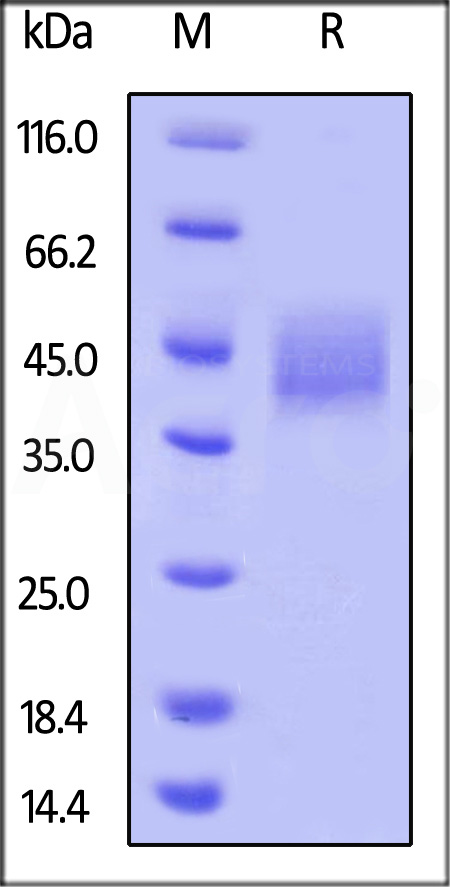 Biotinylated Human B7-H3, His Tag (Cat. No. B73-H82E6) SDS-PAGE gel