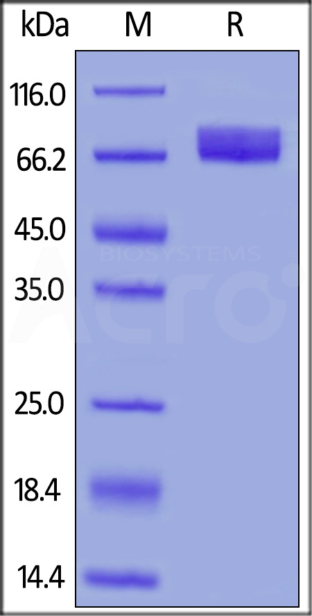 Human B7-H4, Fc Tag, low endotoxin (Cat. No. B74-H5256) SDS-PAGE gel