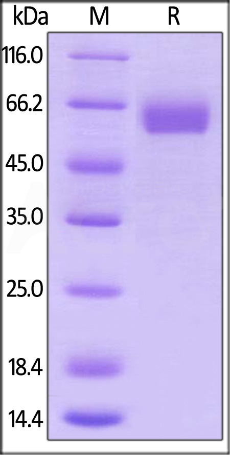 Human B7-H5, Mouse IgG2a Fc Tag, low endotoxin (Cat. No. B75-H5258) SDS-PAGE gel