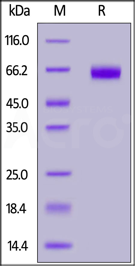 Human B7-H5, Fc Tag (Cat. No. B75-H5259) SDS-PAGE gel