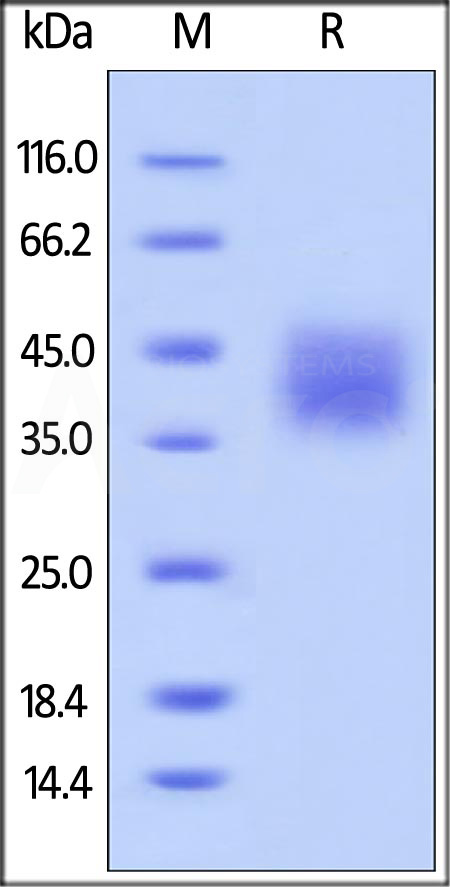 Biotinylated Human B7-H5, His Tag (Cat. No. B75-H82E1) SDS-PAGE gel