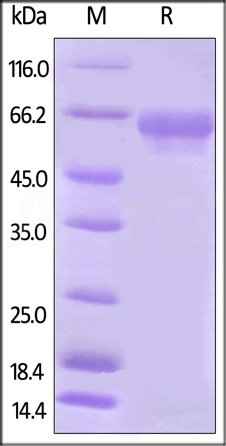 Biotinylated Human B7-H5 Protein, Fc Tag (Cat. No. B75-H82F3) SDS-PAGE gel