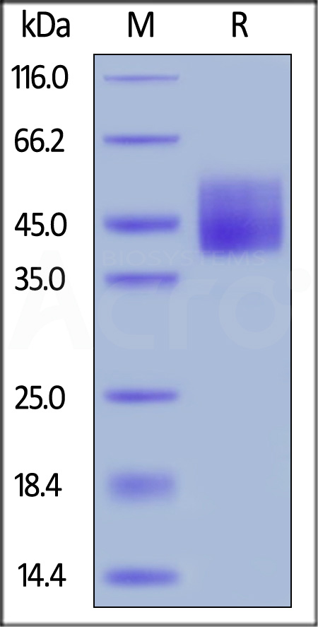 Human B7-H6, His Tag (Cat. No. B76-H52H8) SDS-PAGE gel