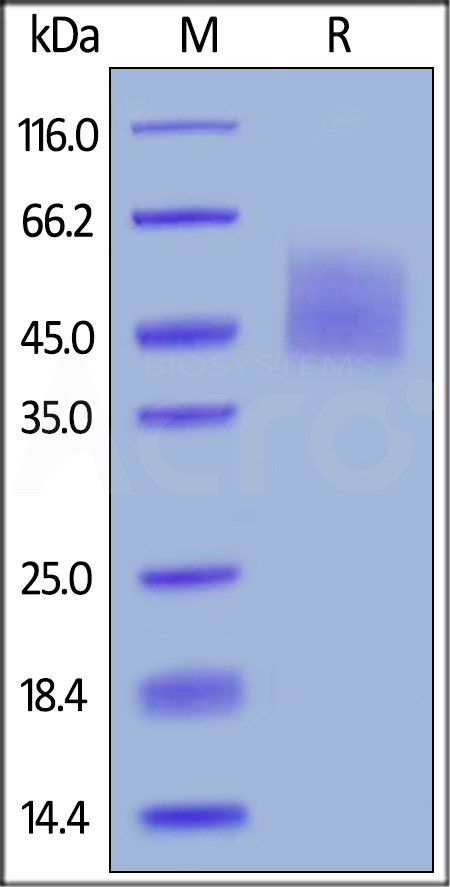 Biotinylated Human B7-H6, His,Avitag (Cat. No. B76-H82E5) SDS-PAGE gel