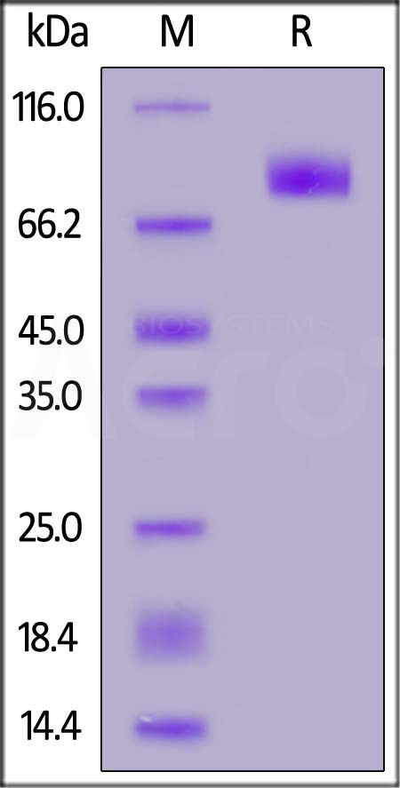 Human B7-H7, Fc Tag (Cat. No. B77-H5257) SDS-PAGE gel