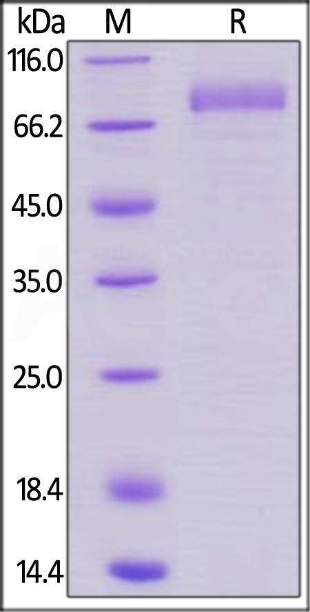 Biotinylated Human B7-H7, Fc Tag, Avi Tag (Cat. No. B77-H82F5) SDS-PAGE gel