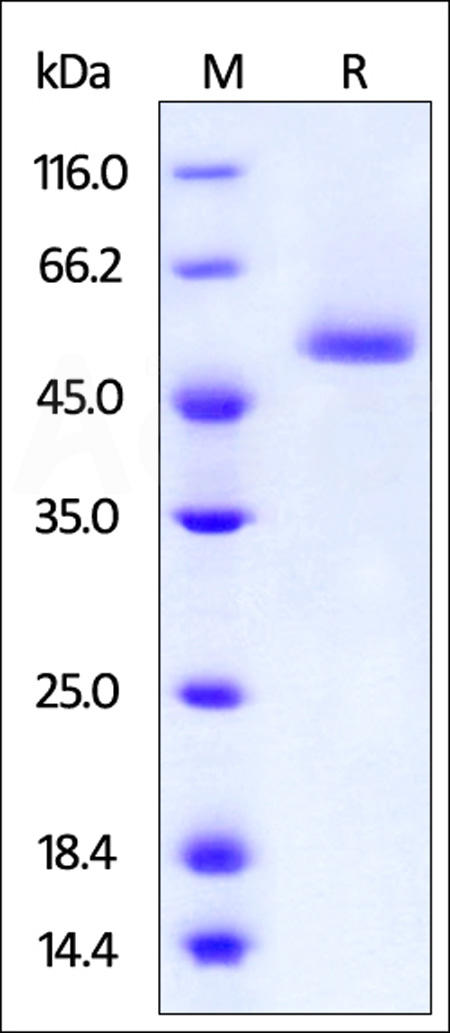 FITC-Labeled Human BAFF, Fc Tag (Cat. No. BAF-HF268) SDS-PAGE gel