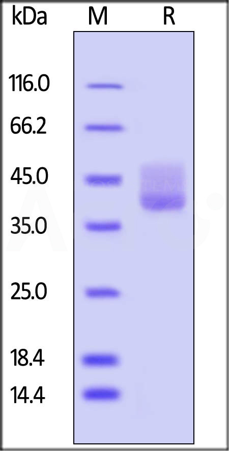 Human BAFFR / TNFRSF13C, Fc Tag (Cat. No. BAR-H5257) SDS-PAGE gel