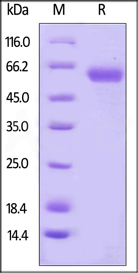 Human CD48, Fc Tag (Cat. No. BC1-H5255) SDS-PAGE gel