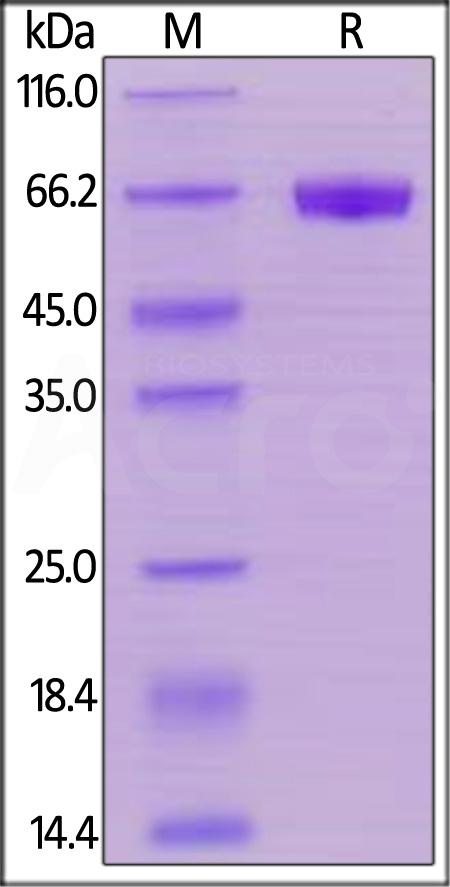 Human CD48, Mouse IgG2a Fc Tag, low endotoxin (Cat. No. BC1-H5258) SDS-PAGE gel