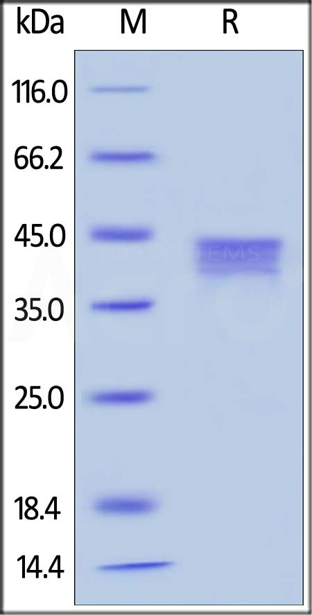Biotinylated Human BCMA, Fc,Avitag (Cat. No. BC7-H82F0) SDS-PAGE gel