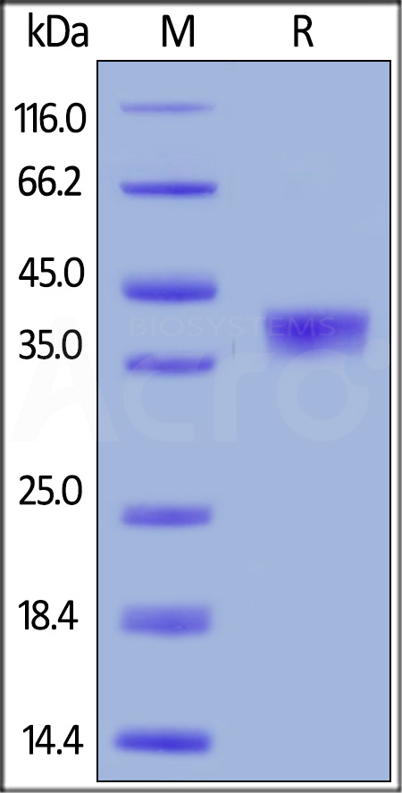 Human BCMA, Mouse IgG2a Fc Tag, low endotoxin (Cat. No. BCA-H5253) SDS-PAGE gel