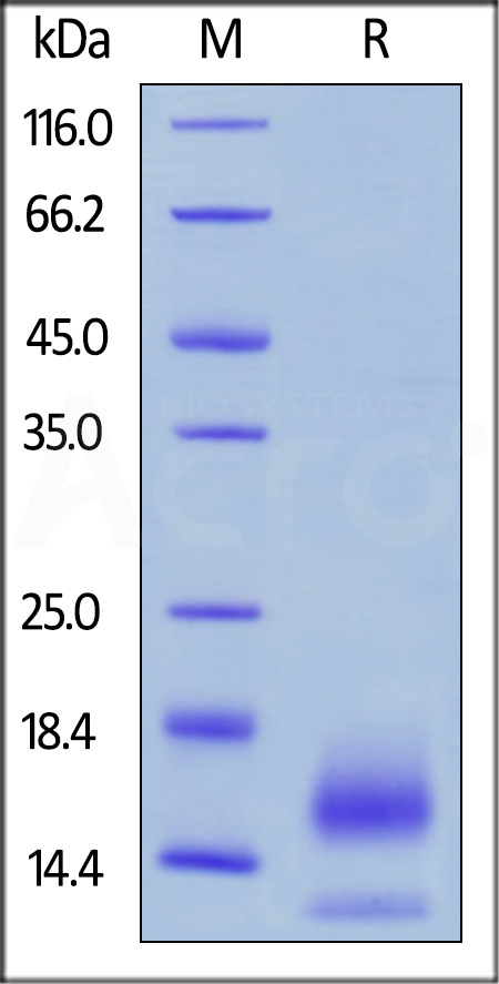 Biotinylated Human BCMA, His,Avitag (Cat. No. BCA-H82E4) SDS-PAGE gel