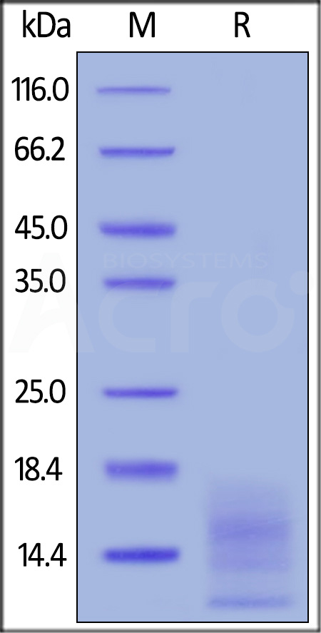 FITC-Labeled Human BCMA, His Tag (Cat. No. BCA-HF2H1) SDS-PAGE gel