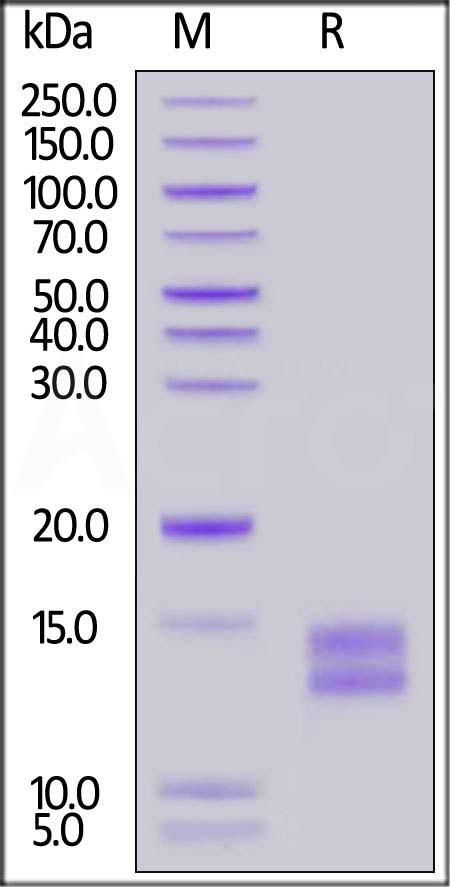 Mouse BCMA (Cat. No. BCA-M52H3) SDS-PAGE gel