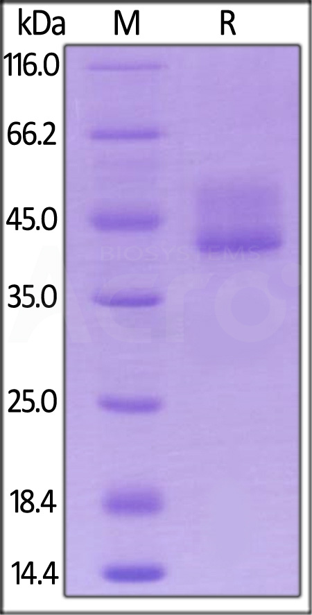 Biotinylated Mouse BCMA, Fc Tag (Cat. No. BCA-M82F0) SDS-PAGE gel