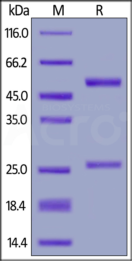 Anti-Bevacizumab Antibodies (recommended for PK/PD) (Cat. No. BEB-Y10) SDS-PAGE gel