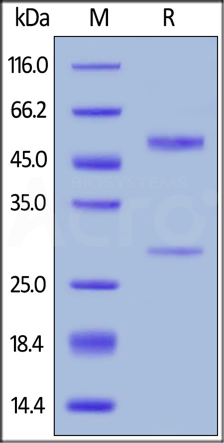 Anti-Bevacizumab Antibodies (recommended for neutralizing assay) (Cat. No. BEB-Y12) SDS-PAGE gel