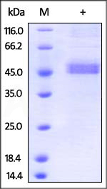 Human Betacellulin, Fc Tag (Cat. No. BEN-H525x) SDS-PAGE gel