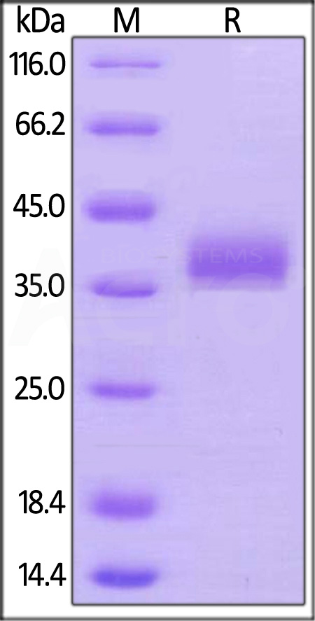 Biotinylated Human BTN1A1, His,Avitag (Cat. No. BT1-H82E6) SDS-PAGE gel