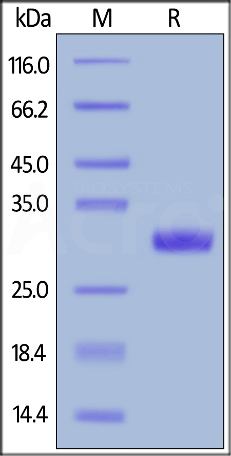 Biotinylated Human BTN3A2, His Tag, Avi Tag (Cat. No. BT2-H82E7) SDS-PAGE gel