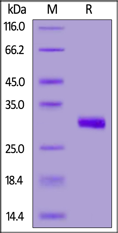 Human BTN3A3, His Tag (Cat. No. BT3-H52H0) SDS-PAGE gel