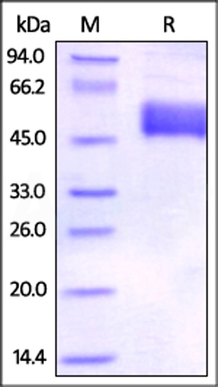 Human BTLA (31-134), Fc Tag (Cat. No. BTA-H5255) SDS-PAGE gel