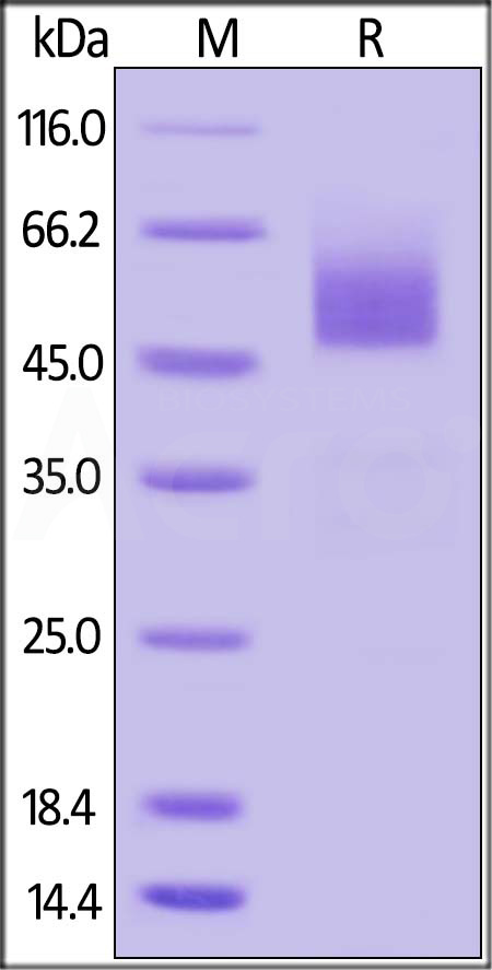 Human BTLA (31-150), Fc Tag (Cat. No. BTA-H5256) SDS-PAGE gel